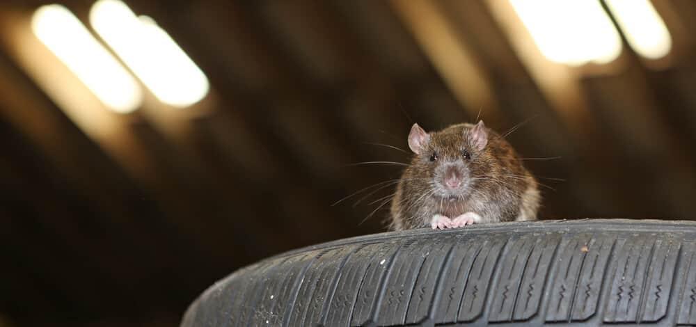 Rat Car Tire