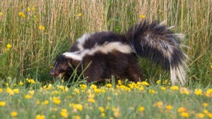 How To Remove Skunk Smell From Your Car