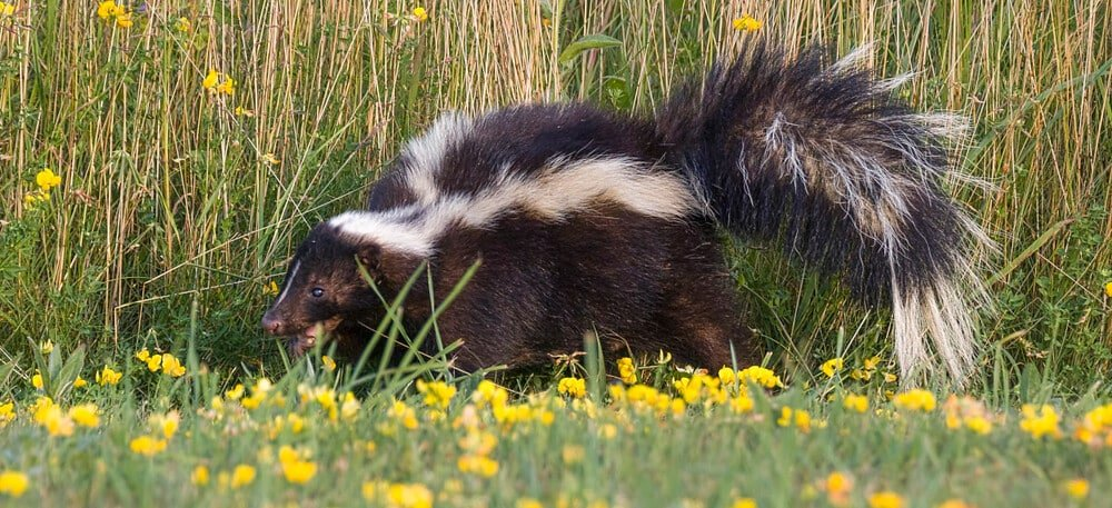 remove skunk smell from car